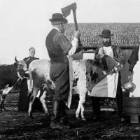 Slakting av ku/Slaughtering a cow